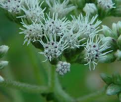 eupatorium perfoliatum resized 600