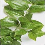 nux vomica plant